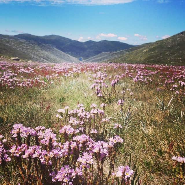 Incredible #wildflowers in Consett Stephen Pass looking towards #Guthega. Morning Tea magic spot #SnowyMountains #australia #hiking #betterthanthebeach