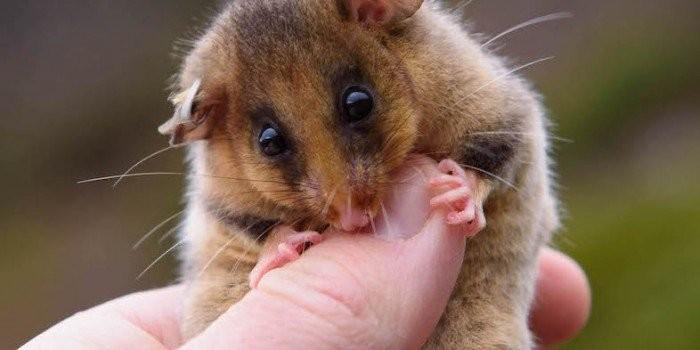 Mountain-Pygmy-Possum-by-Andy-Wettenhall